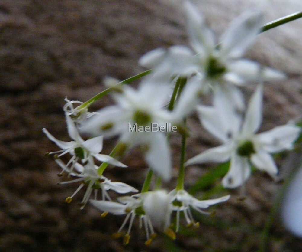 Garlic Chive Flowers by MaeBelle