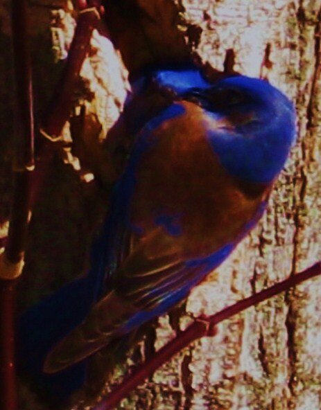 More Bluebirds by jsmusic