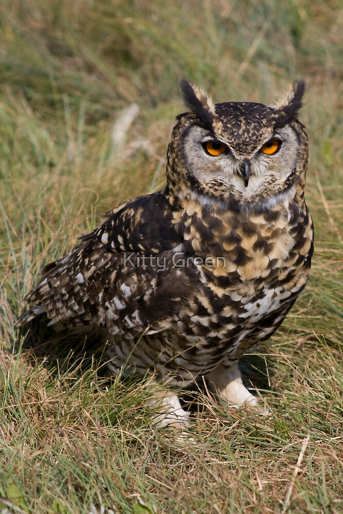 Spotted Eagle Owl by JustineEB