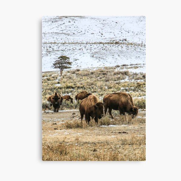 Winter Prairie  Grazing Bison Heard Canvas Print
