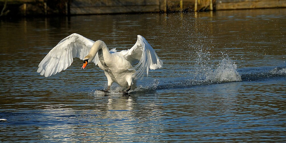 angry swan by NARDO