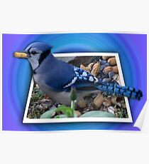 ¨¯`•.★BLUE JAY ENJOYING HIS SNACK OF PEANUTS¨¯`•.★ Poster
