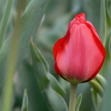 Individuality. . . Red Tulip by KCGraphics