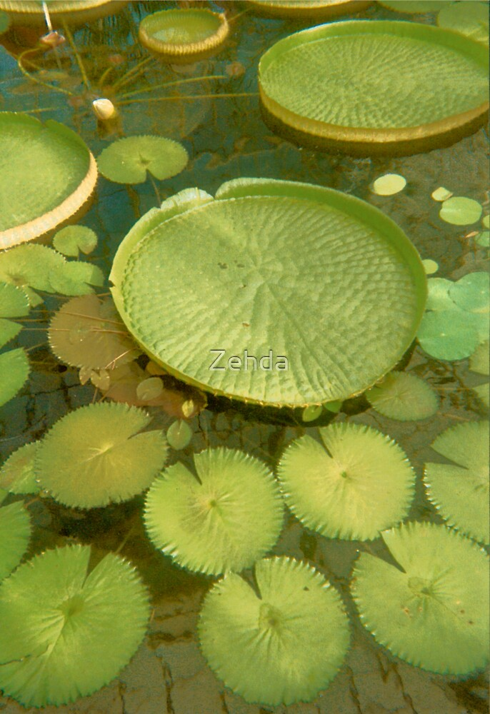 Waterlillies Lilypads by Zehda