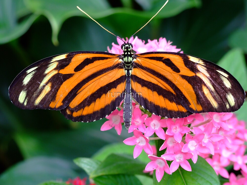Butterfly by funmom