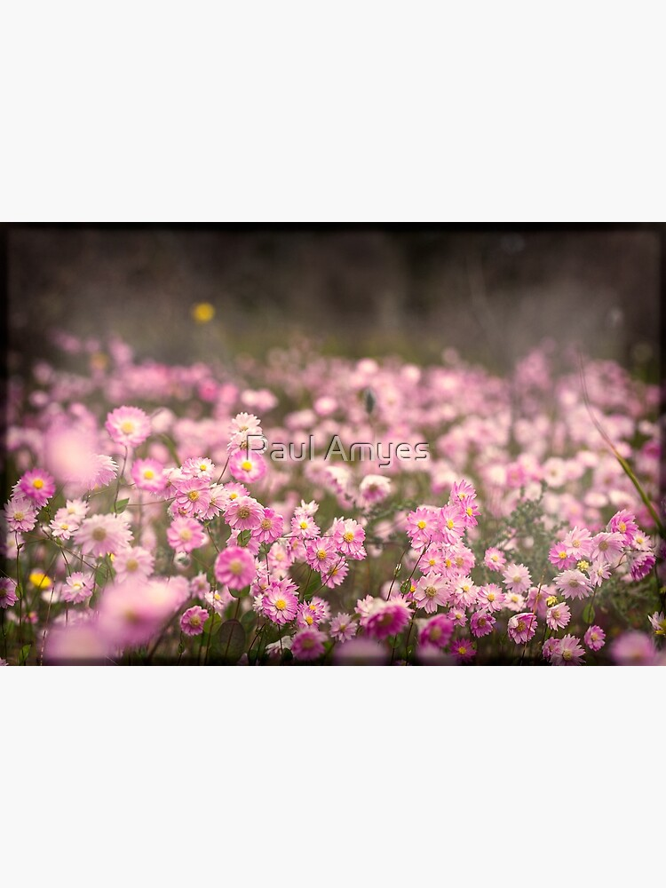 Pink Everlastings by AmyesPhotograph