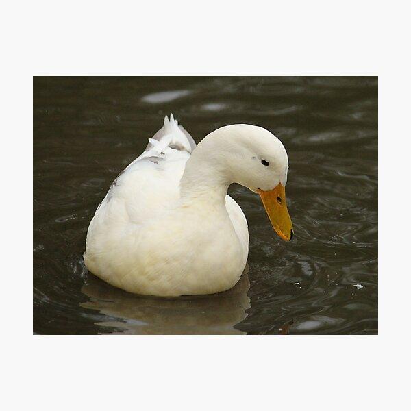 Little White Duck Photographic Print