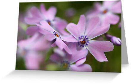 Pink Spring Phlox by T.J. Martin