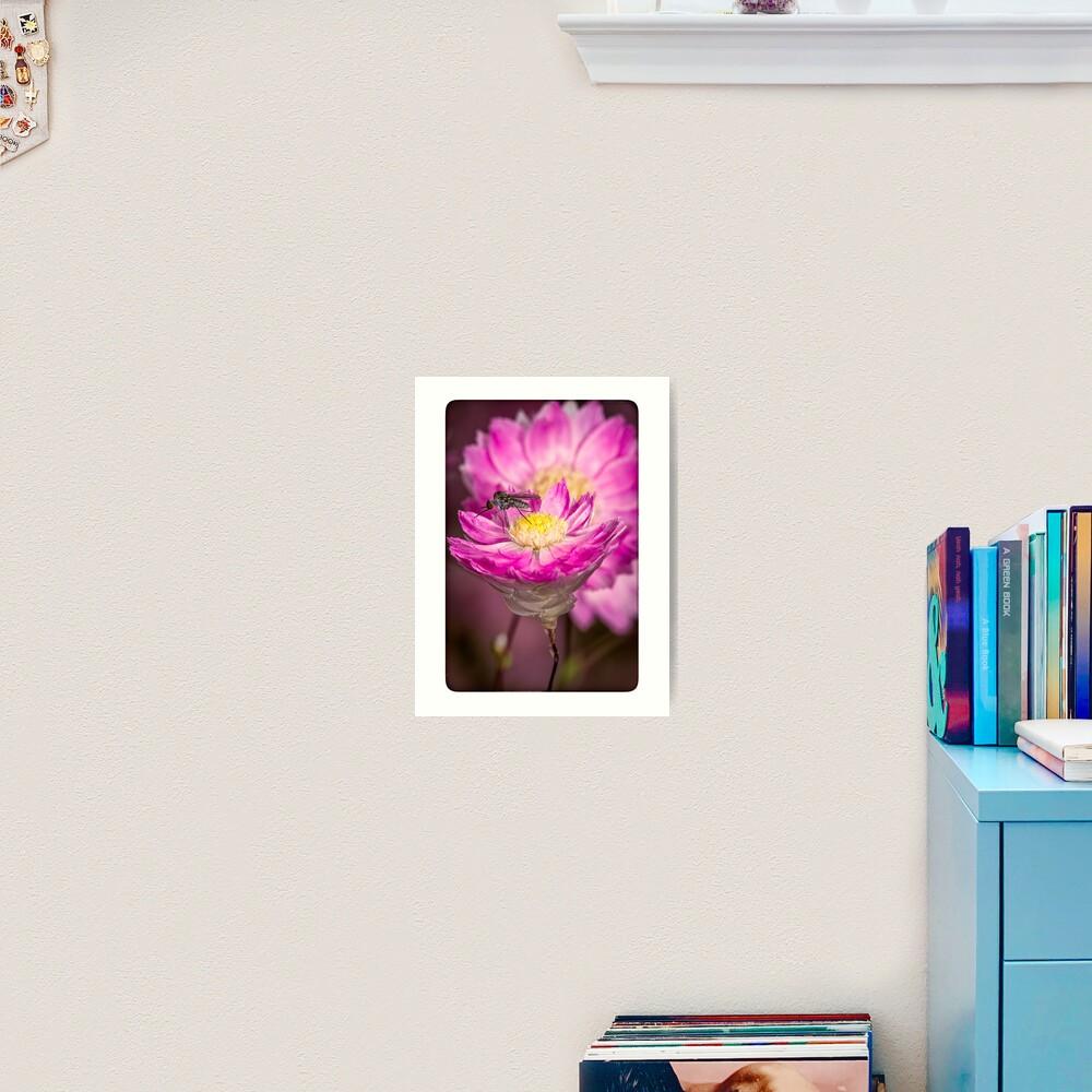 Pink Everlasting Daisy Art Print
