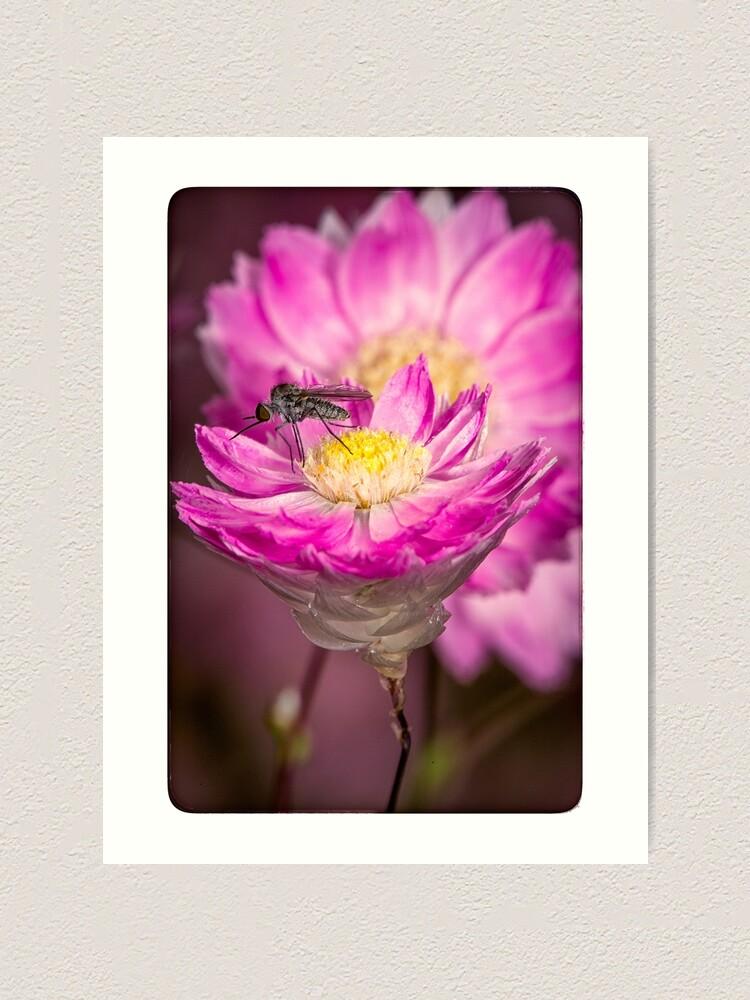 Alternate view of Pink Everlasting Daisy Art Print