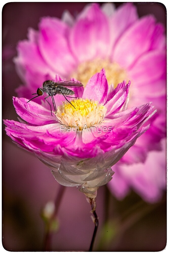 Pink Everlasting Daisy by Paul Amyes