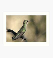 Broad-billed Hummingbird Female  Art Print