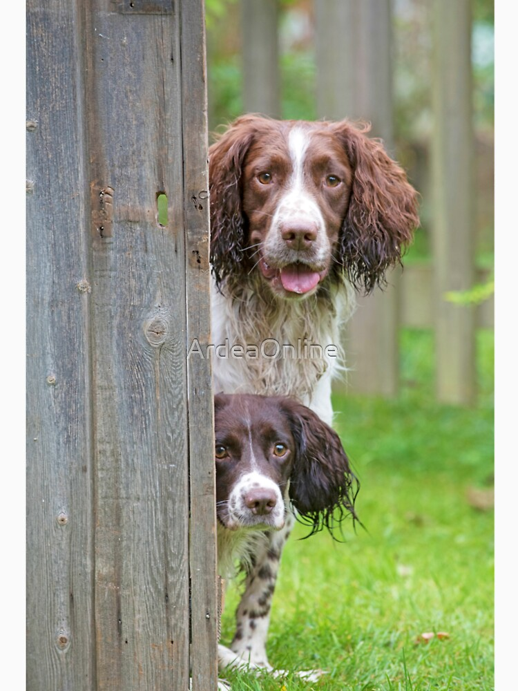 Two Springer Spaniel dogs looking round a fence by ArdeaOnline