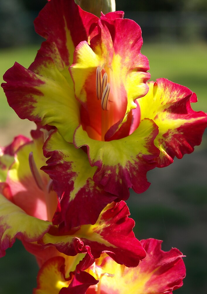 Gladiola by dawnlopez331