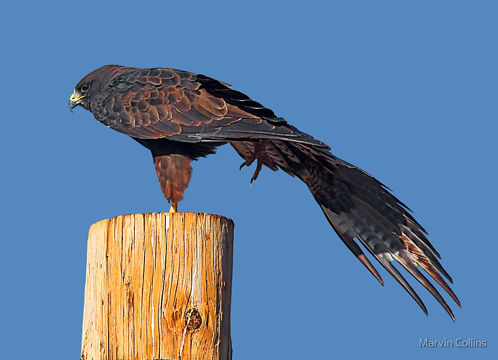 Swainson's Hawk by Marvin Collins