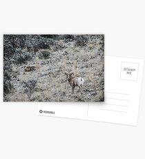 Big Horn Sheep Postcards