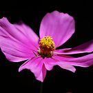 Pink Cosmos by Pamela Hubbard