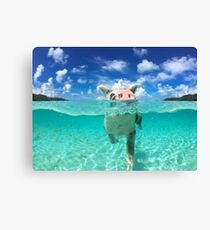 Cute Swimming Pigs in Bahamas Canvas Print