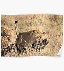 Female Lion Moving the Kill, Maasai Mara, Kenya  Poster