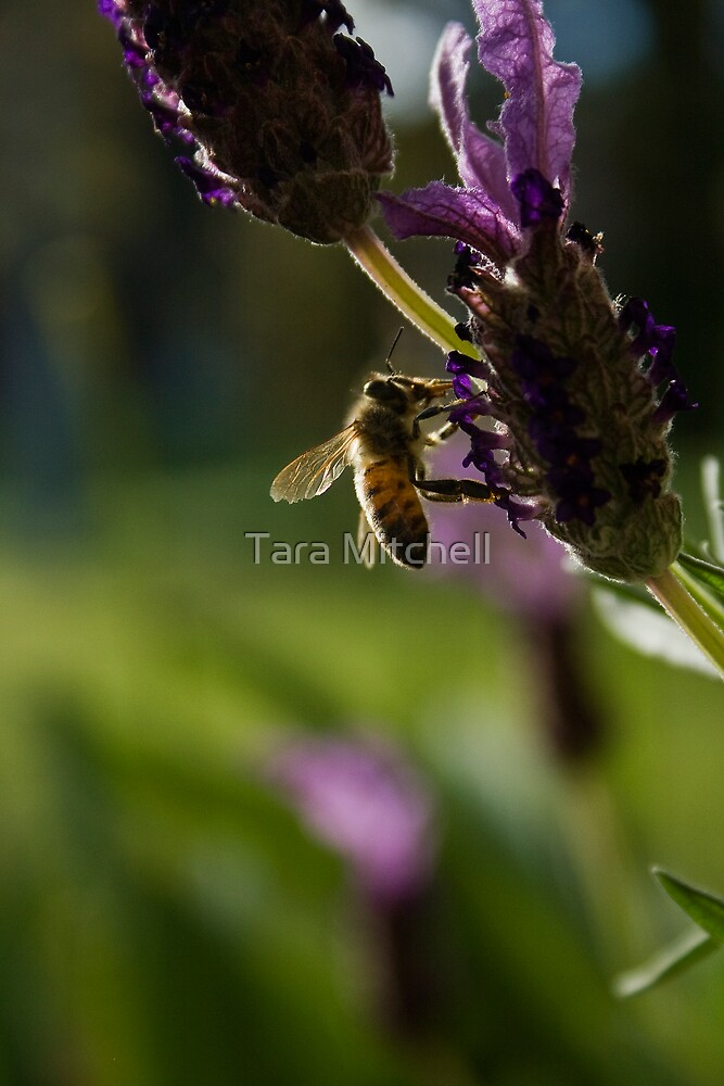 lavender and bee by Tara Mitchell