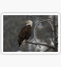 Bald Eagle in Winter Sticker