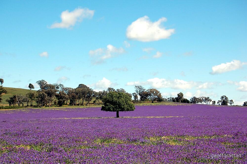 Field     of    purple by geoffgrattan