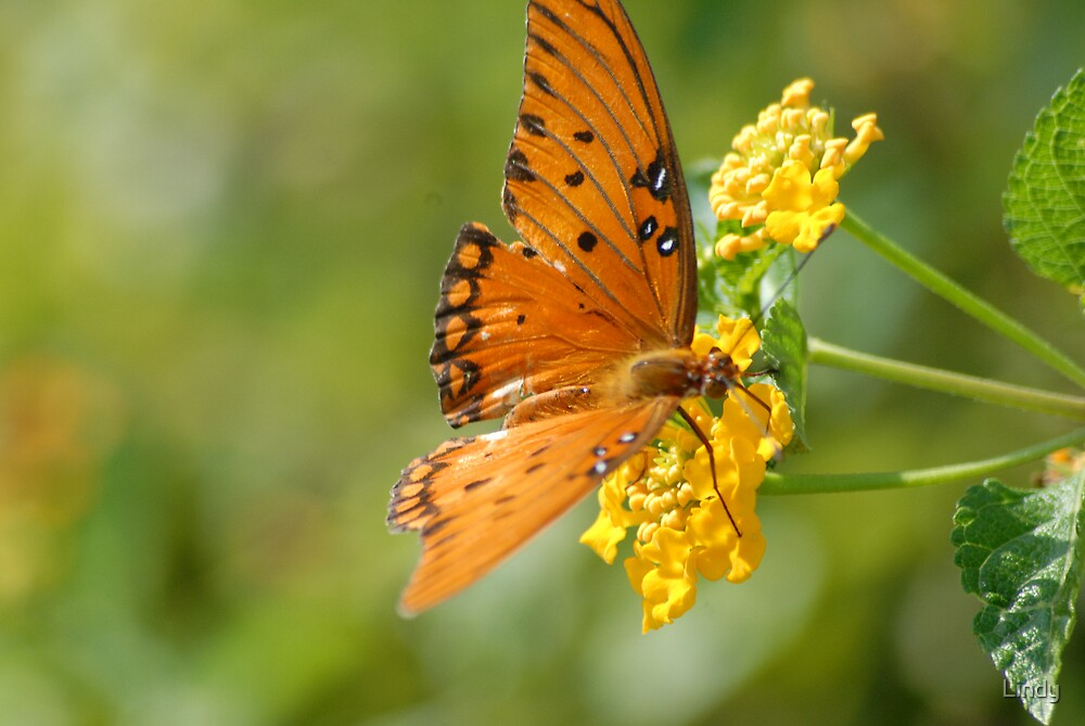 butterfly by Lindy