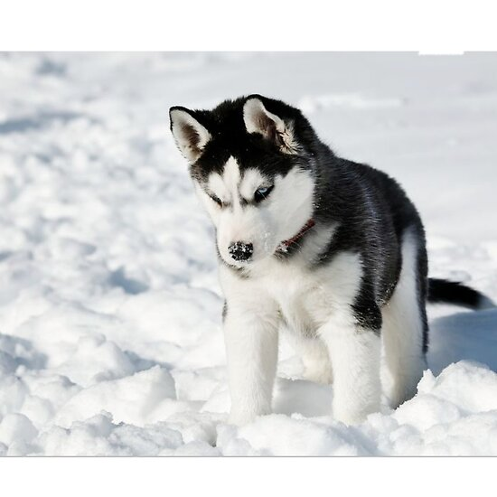 "husky puppy in snow"" posterskathleenkwiat 