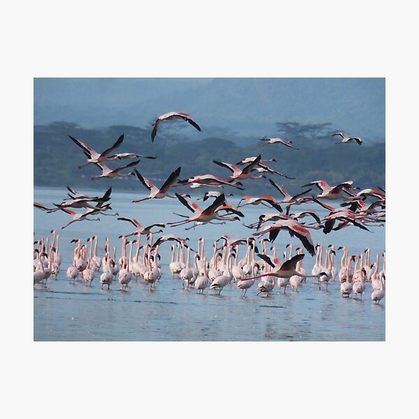 Flamingoes in flight  Photographic Print