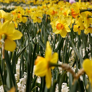 Yellow Daffodil by discoden
