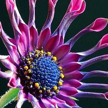 African Daisy (Osteospermum) design by ZipaC