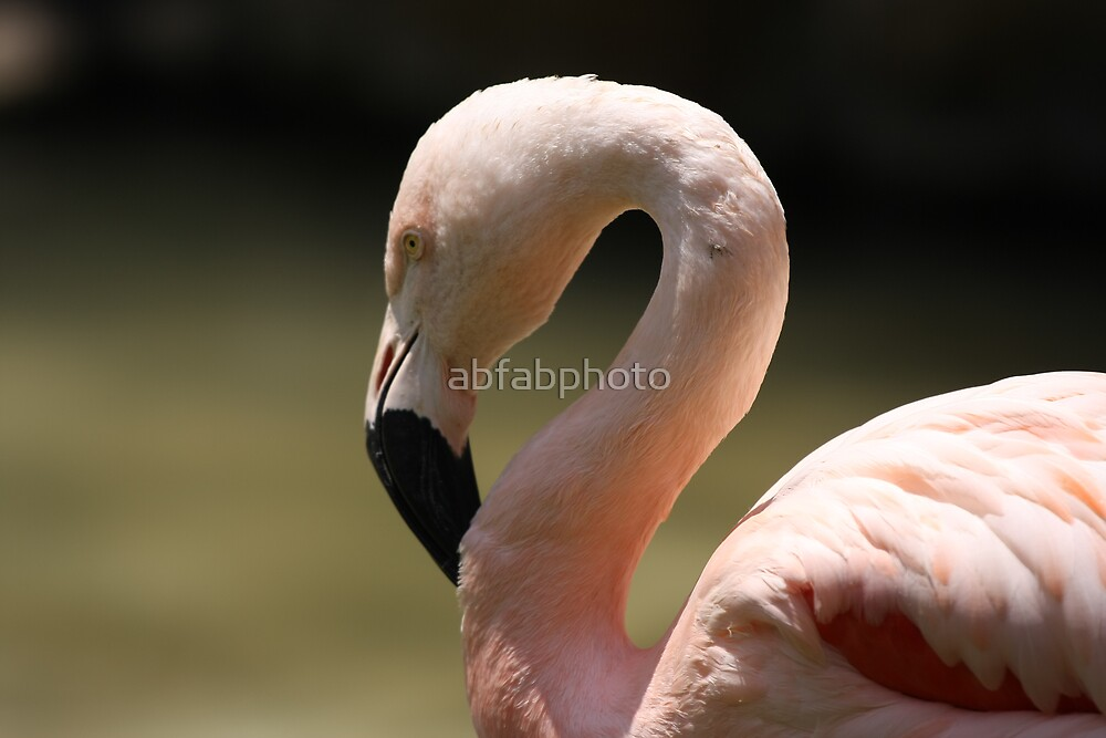 Flamingo by abfabphoto