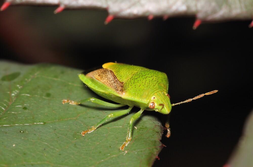 Green Shield Bug by David  Hall
