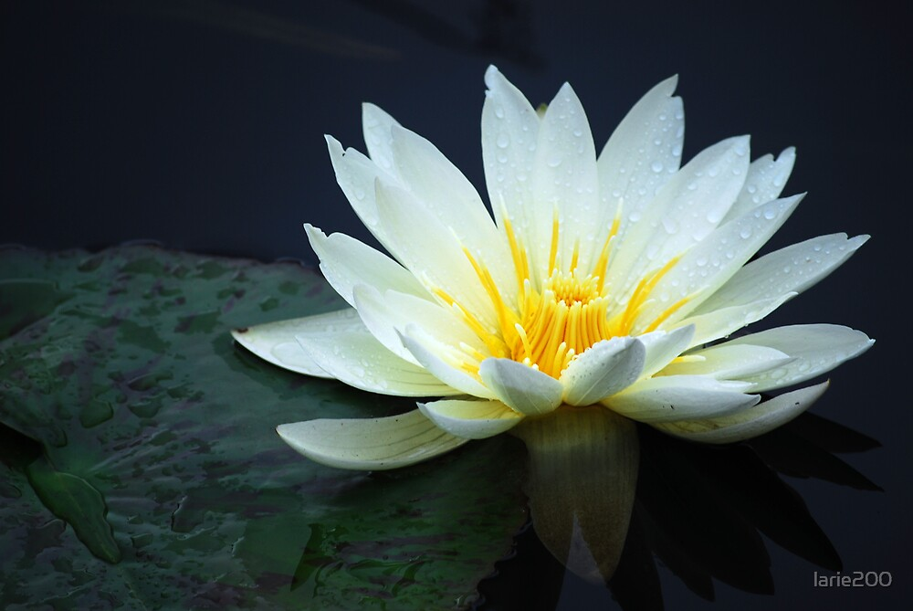 Rain Kissed Water Lily by larie200