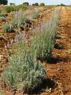 Lavender Farm by Cathy Jones