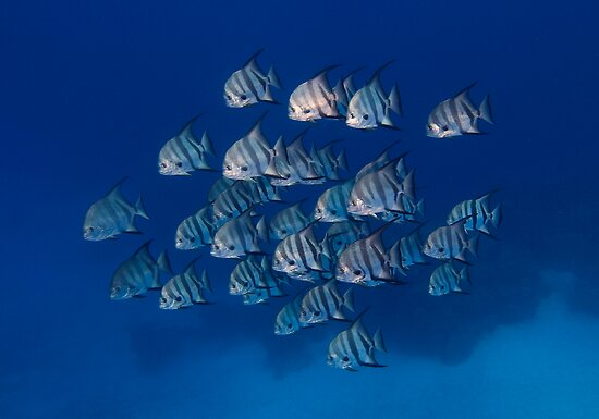 Spadefish school by Carlos Villoch