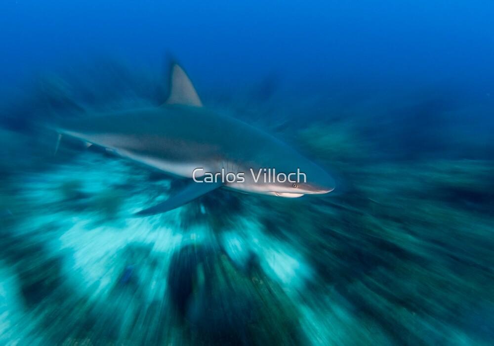 Caribbean Reef Shark by Carlos Villoch