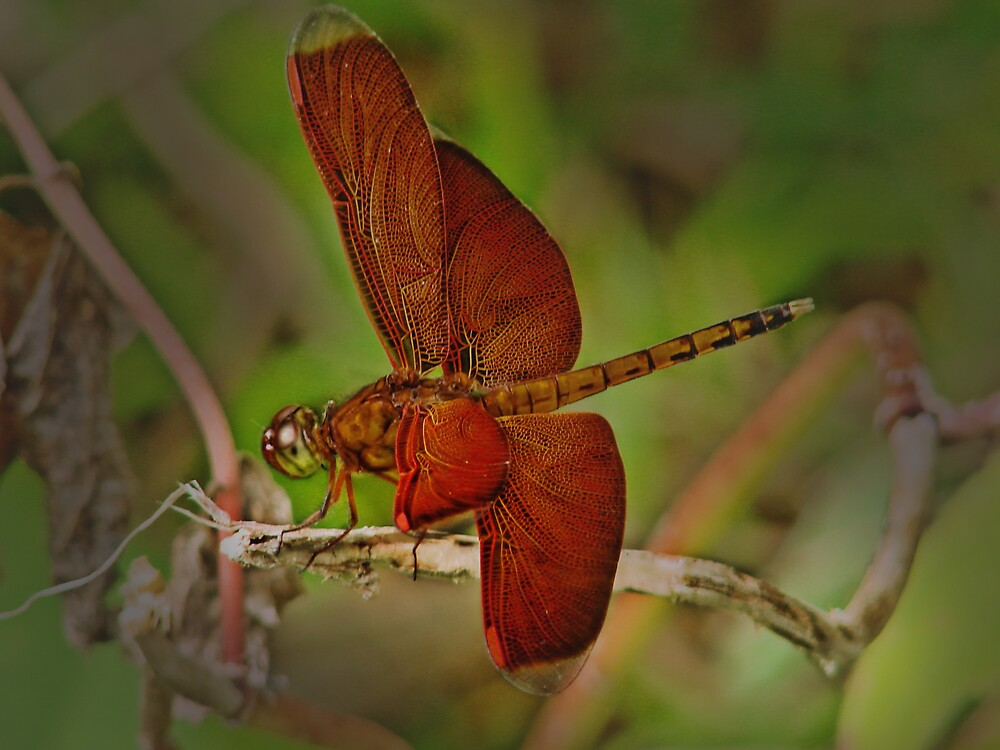 dragonfly by diddle