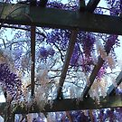 wisteria - so lovely by gaylene