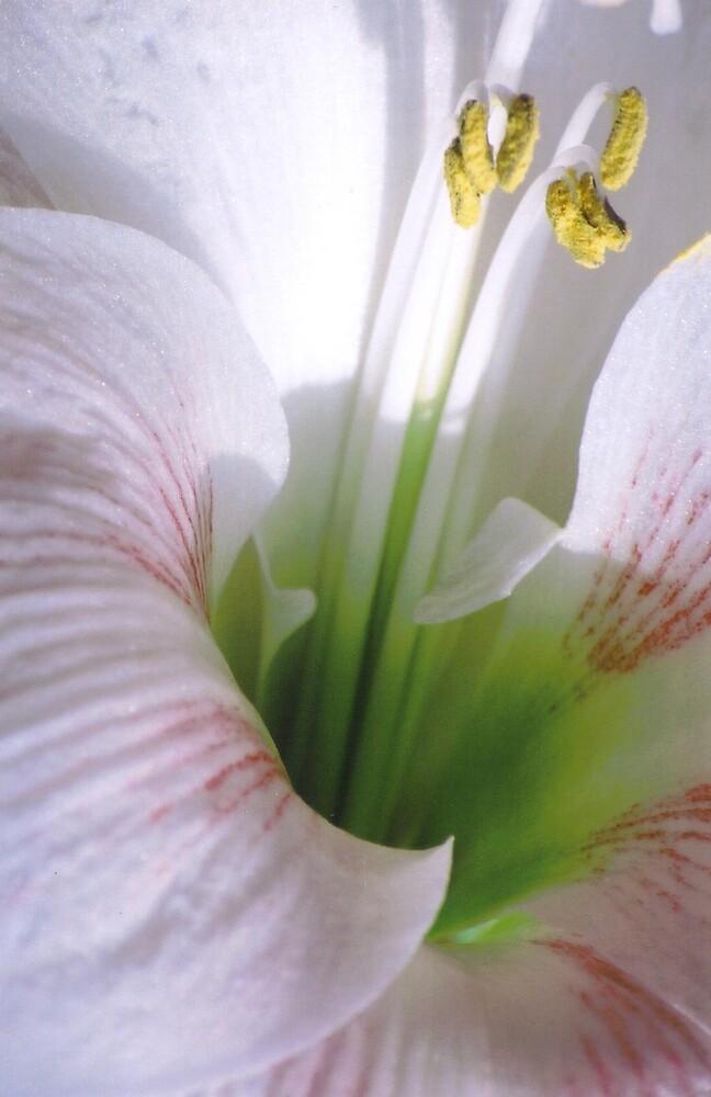 Striped lily by Emma Dixon
