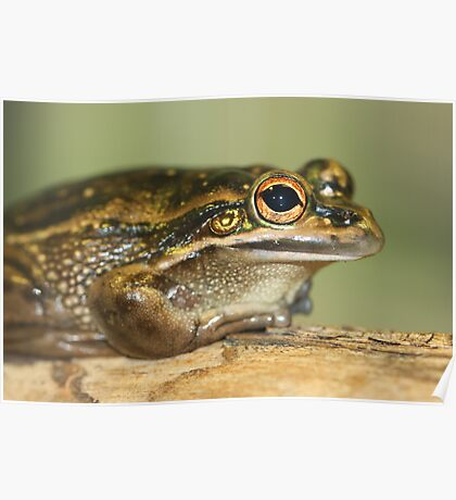 Green and Gold Tree Frog Poster