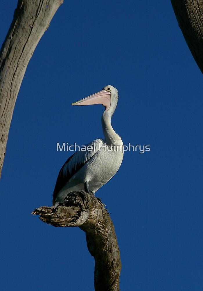 Pelican Portraiture by Michael Humphrys