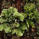Lichens and Moss by Richard G Witham