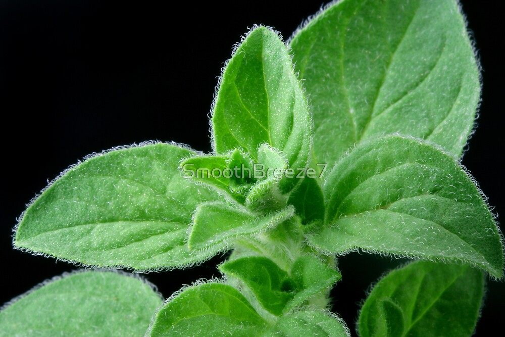 Oregano by SmoothBreeze7