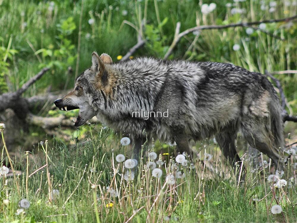 Grey Wolf  by mlynnd