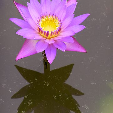 Water Lily by lcarse