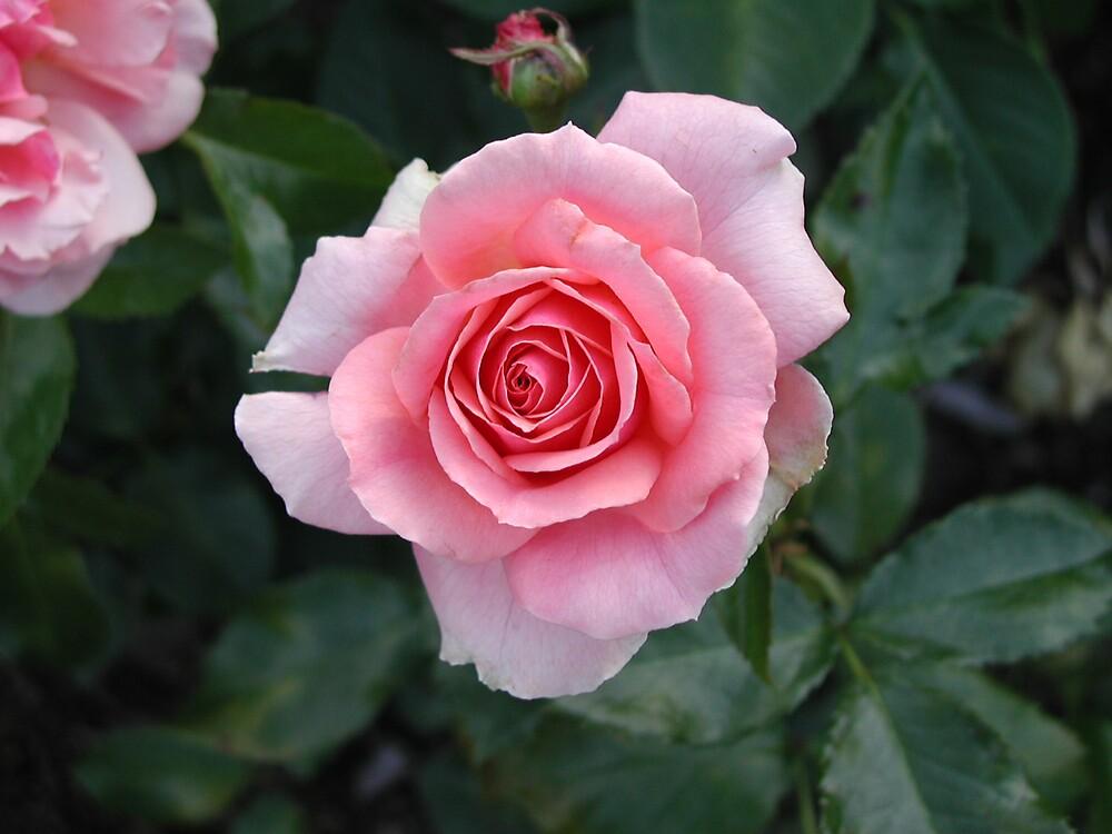 May Rose by Dave Martsolf