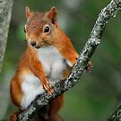 Red Squirrel Wildlife Portrait by John Kelly Photography (UK)