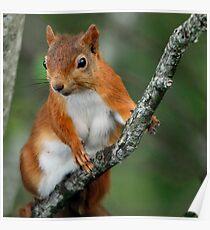 Red Squirrel Wildlife Portrait Poster