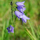 Summer Flowering Harebell Wild Flower by John Kelly Photography (UK)